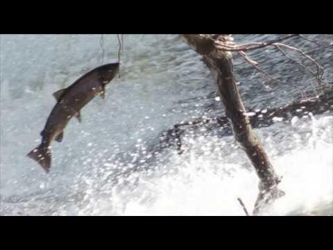 Reisen: Leaping salmon in Philliphaugh, Scotland
