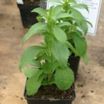 Stevia – die natürliche Süsse