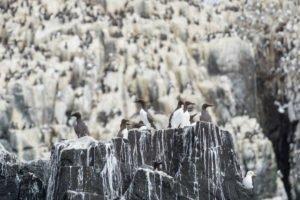 Kolonie Trottellume auf den Farne-Inseln