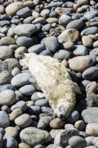 Robbenbabys in Wales